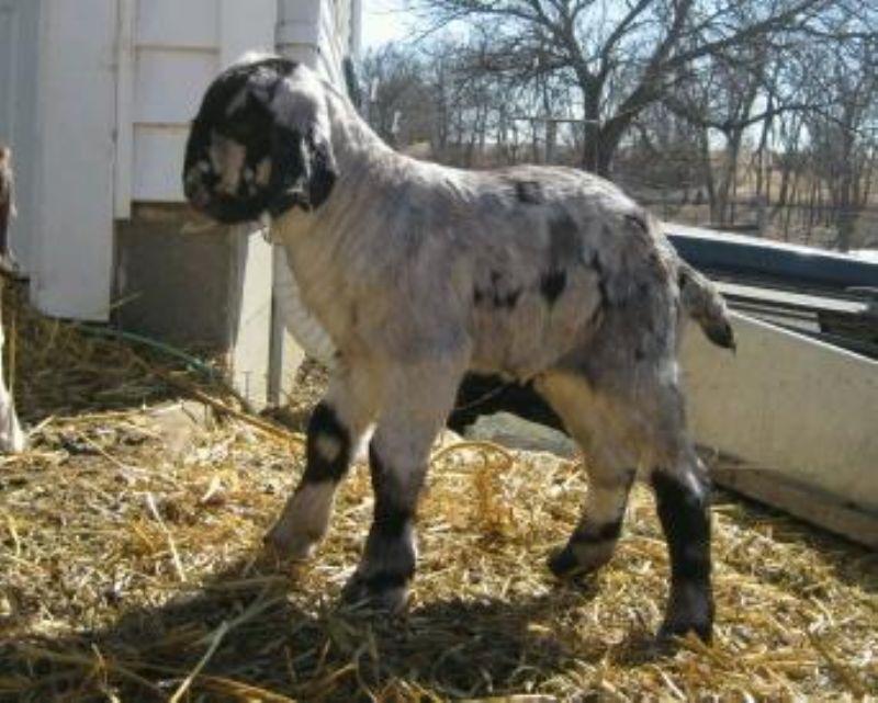 silver boer goat fullblood doe