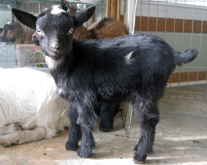Cricket - Nigerian Dwarf Goat Doe
