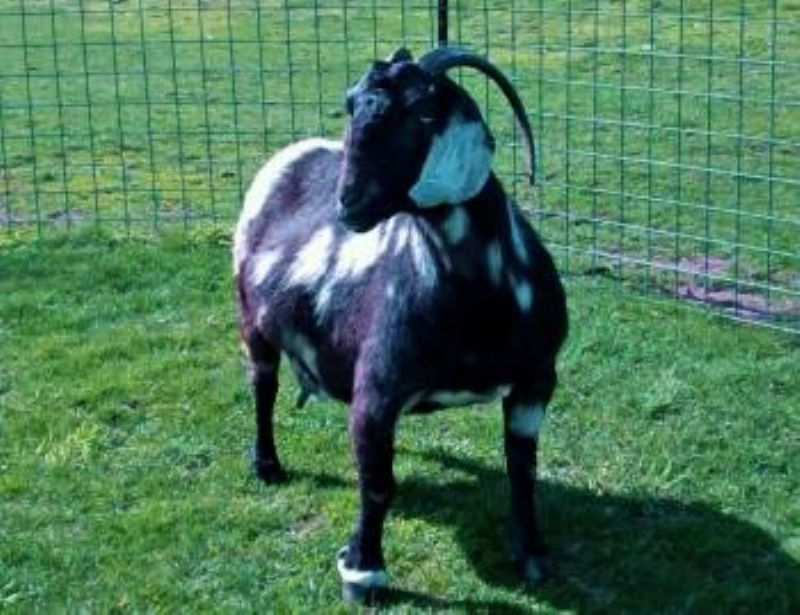 Reese's mother, MAX Boer Goats IMAX Ebony Edition