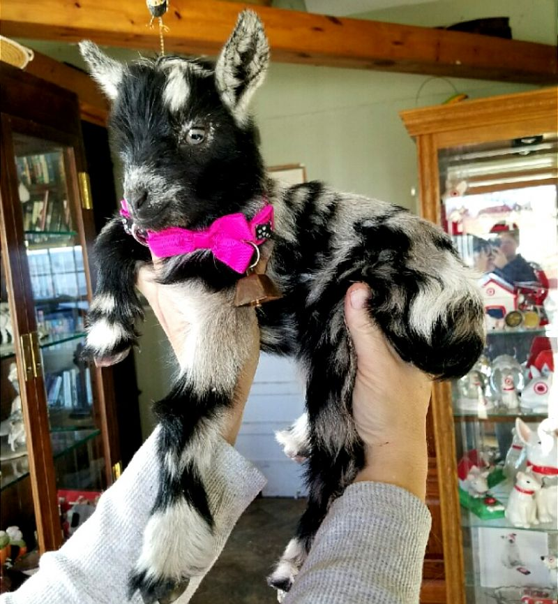 Angelique - Nigerian Dwarf Goat Doe