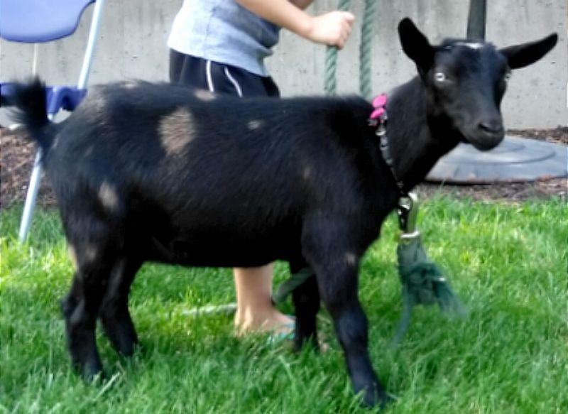 Registered Nigerian Dwarf Goats Does
