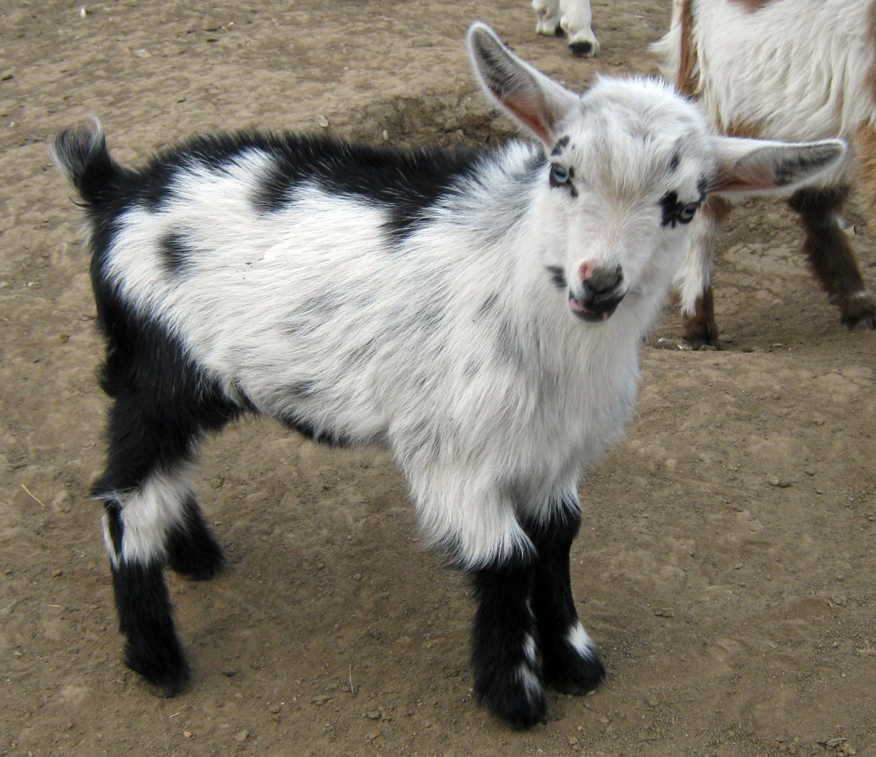 Registered Nigerian Dwarf Goats - Does