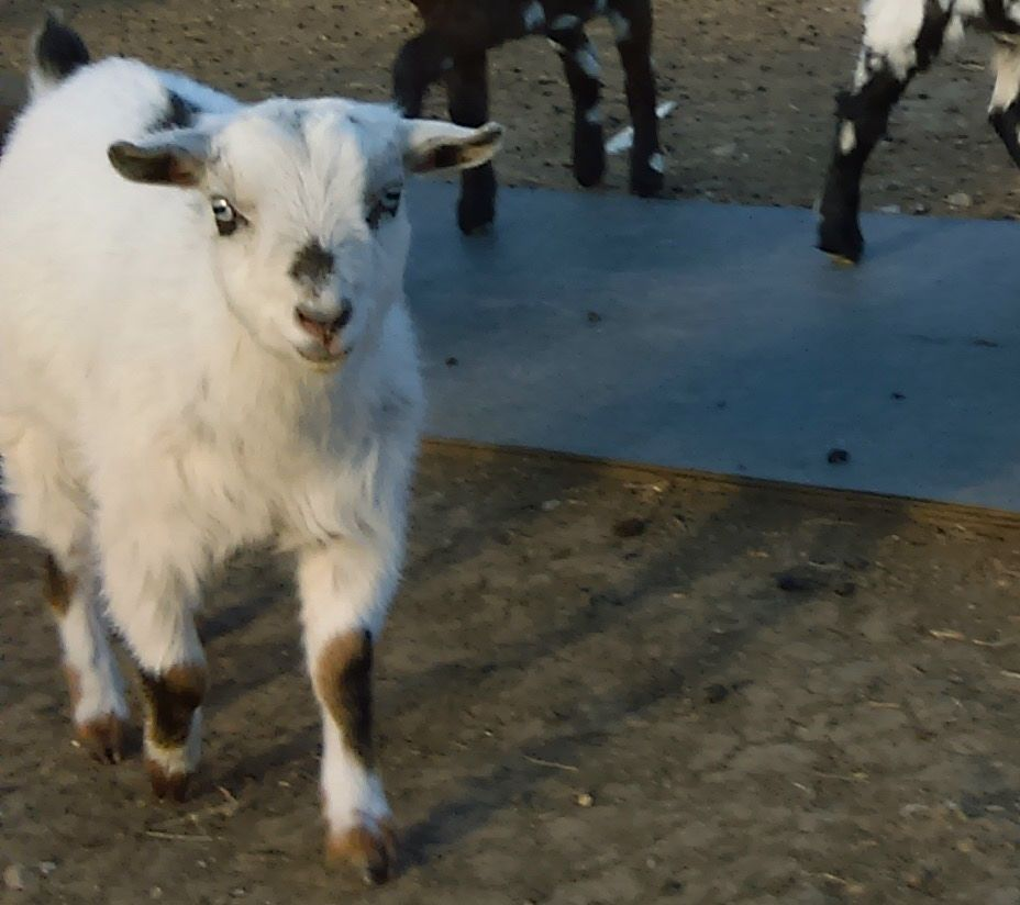 Registered Nigerian Dwarf Goats - Does